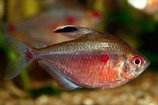 Characidae